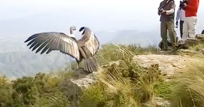 Cóndor vuela por primera vez y al despedirse hace llorar a miles en las redes con su gesto