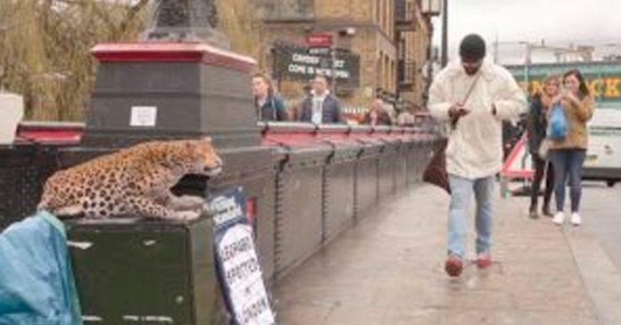 Leopardo pone los pelos de punta al rugir a los transeúntes, todo se trataba de una divertida broma
