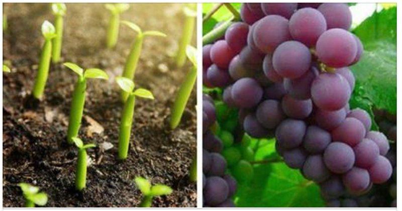 Aprende a Cultivar Uvas en tu Casa es más fácil de lo que parece.