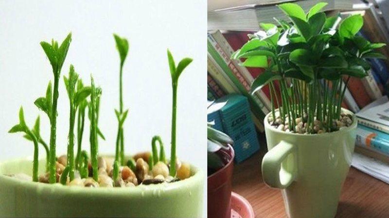Como plantar limón en una taza para perfumar y decorar tu hogar