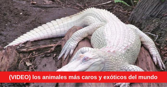 animales más caros y exóticos del mundo