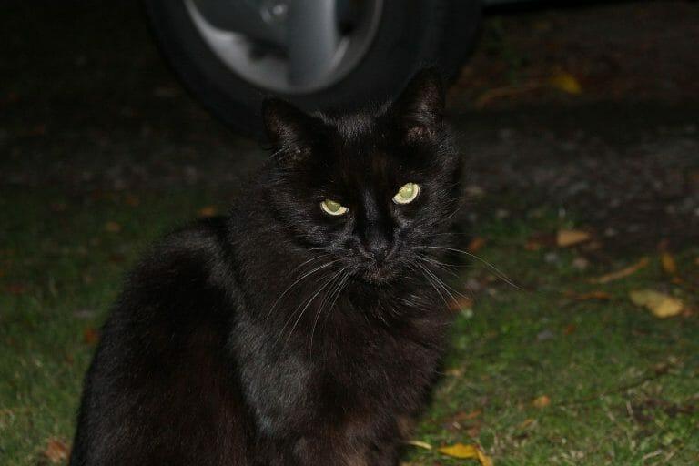 gato negro adoptado
