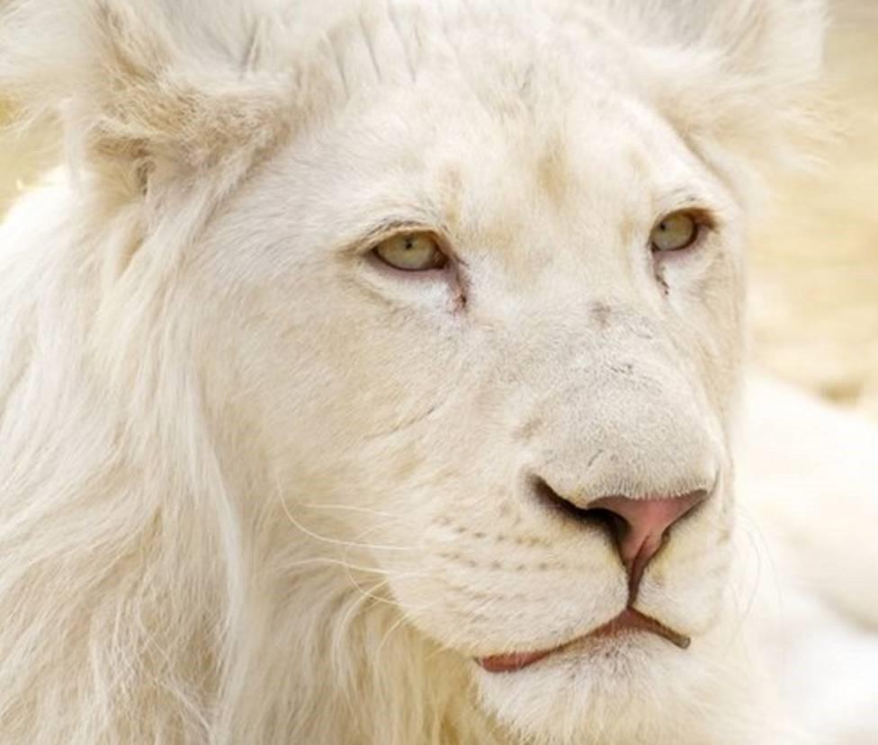 león blanco hermoso