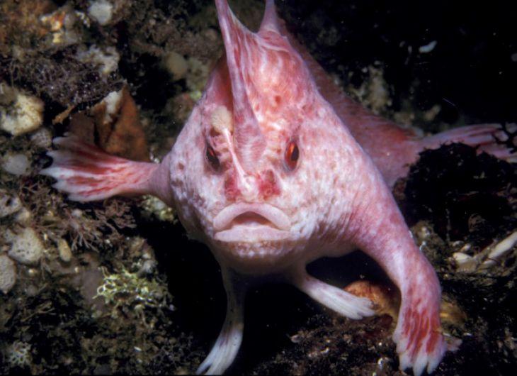 Brachionichthyidae