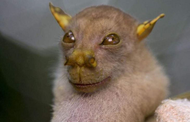 Murciélago Nyctimene sanctacrucis de nariz tubular