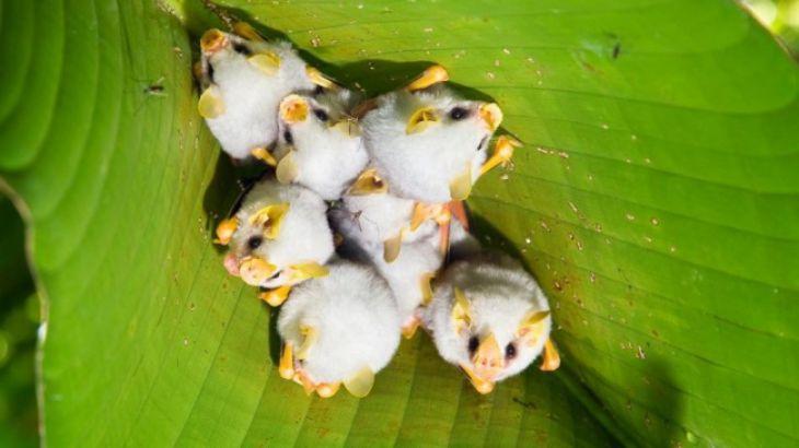 Murciélagos blancos hondureños