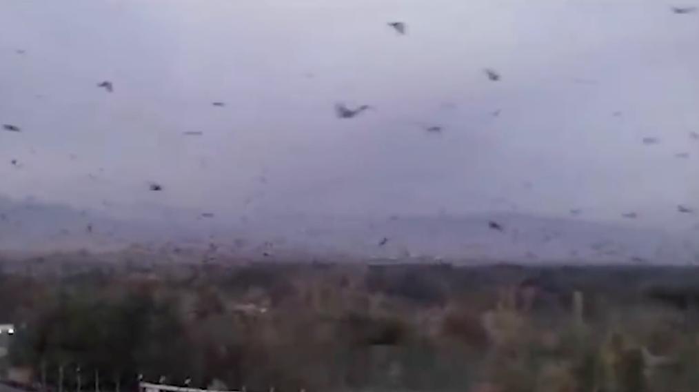 plagas de cuervos gigantes en china